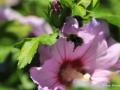 hibiskus-biene