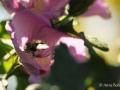 hibiskus-biene1