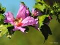 hibiskus-biene3