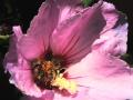 hibiskus-biene4
