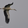 walsrode-storch8