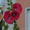 gartenblume1