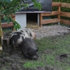schweine4