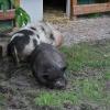 schweine5