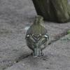 buchfink-weibchen-1