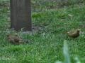 gruenfinkenpaar.jpg