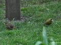 gruenfinkenpaar2.jpg