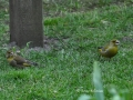 gruenfinkenpaar3.jpg