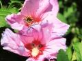 hibiskus-biene2