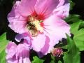 hibiskus-biene5