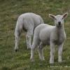 schaflaemmer-ostfriesland-5