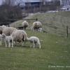 schaflaemmer-ostfriesland-7