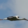 walsrode-storch3