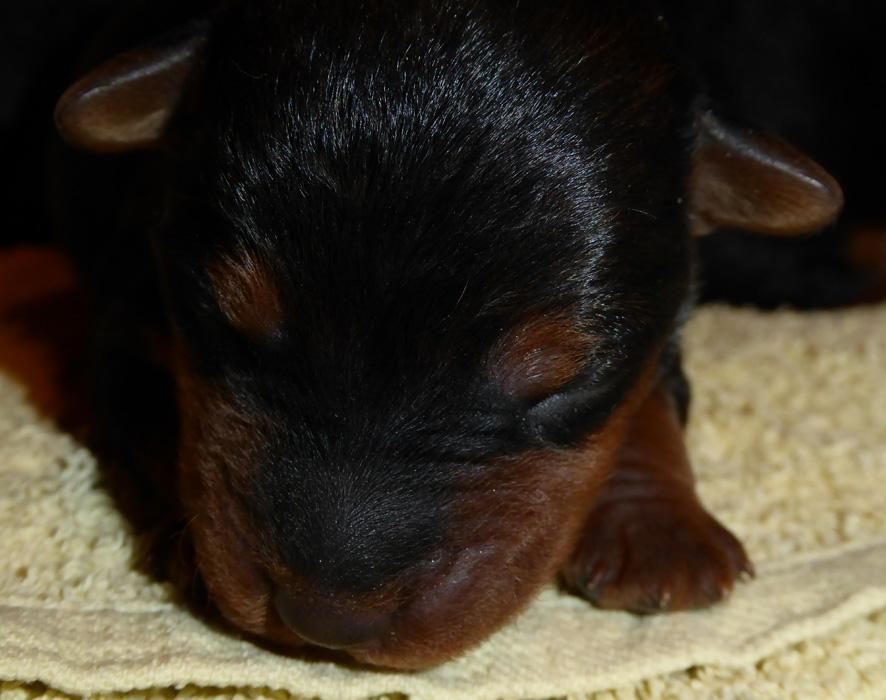 4 süße Welsh Terrier Hundebabys
