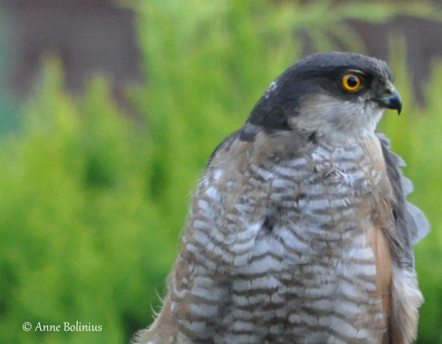 Ein Sperber an unserem Vogelhaus